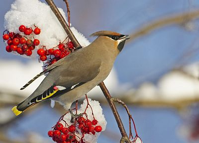 snow, birds, depth of field, waxwing - related desktop wallpaper