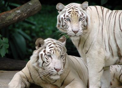 animals, tigers, white tiger - desktop wallpaper