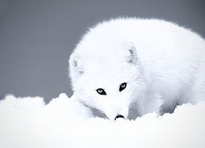 grayscale, arctic fox - random desktop wallpaper
