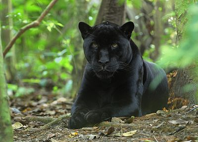 nature, animals, panthers - random desktop wallpaper