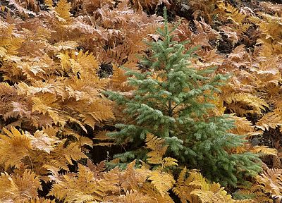 autumn, young, ferns, fir, National Park, Washington, Mount - related desktop wallpaper