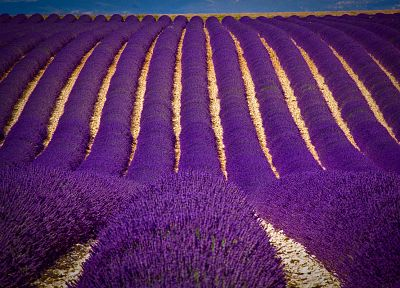 flowers, fields, lavender, purple flowers - related desktop wallpaper