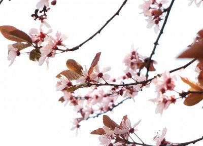 nature, cherry blossoms, flowers, pink, plants - related desktop wallpaper