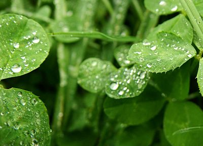 green, nature, leaves, plants, water drops, macro - related desktop wallpaper