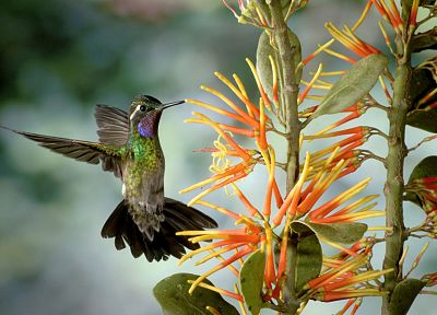 flowers, birds, hummingbirds, iridescence - random desktop wallpaper