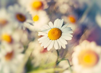 nature, flowers, depth of field, white flowers, daisies - related desktop wallpaper