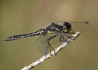 animals, insects, dragonflies, twig - desktop wallpaper