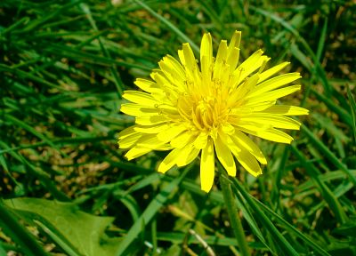 flowers, grass, dandelions, yellow flowers - desktop wallpaper