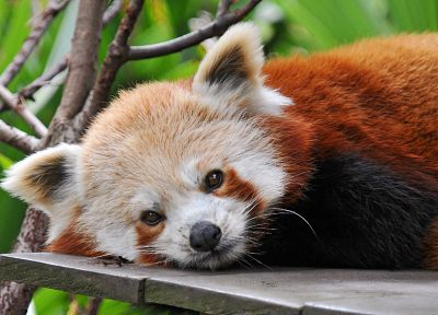 nature, animals, panda bears, red pandas - desktop wallpaper