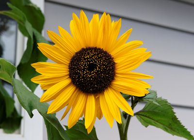 flowers, sunflowers, yellow flowers - random desktop wallpaper
