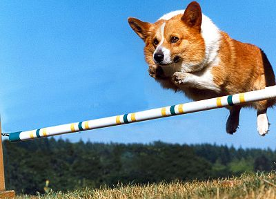 animals, grass, dogs, jumping, Corgi, blue skies - random desktop wallpaper