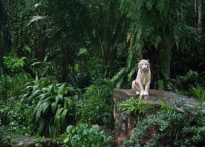 animals, tigers, white tiger, ferns - related desktop wallpaper
