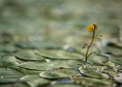 macro, lily pads - desktop wallpaper