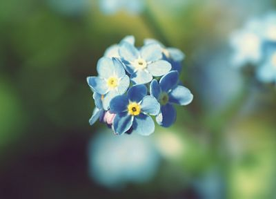 nature, flowers, summer, Forget-me-nots - desktop wallpaper
