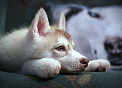 animals, dogs, house, pets, Siberian husky - related desktop wallpaper