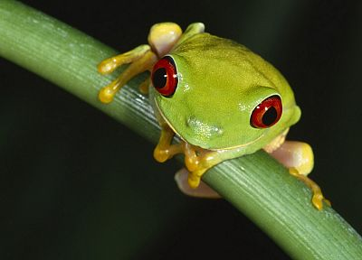 animals, frogs, macro, Red-Eyed Tree Frog, amphibians - random desktop wallpaper