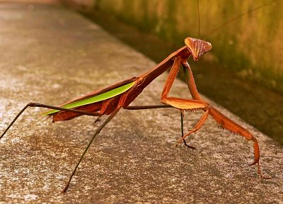 Praying Mantis - random desktop wallpaper