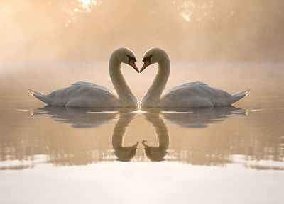 love, birds, animals, swans, hearts, reflections - desktop wallpaper