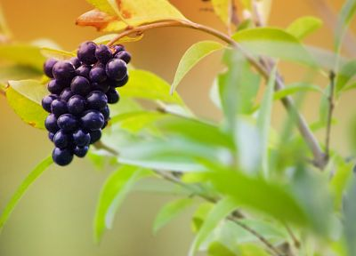 fruits, food, grapes - random desktop wallpaper