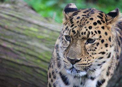 animals, feline, leopards, wild animals, faces, whiskers - related desktop wallpaper