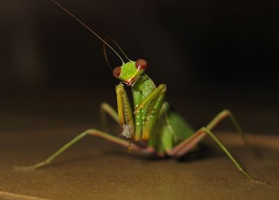 insects, mantis, Praying Mantis - random desktop wallpaper