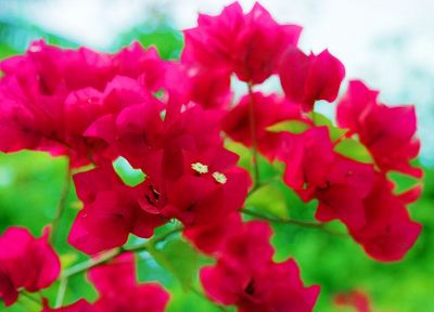 nature, trees, flowers, forests, bougainvillea - desktop wallpaper