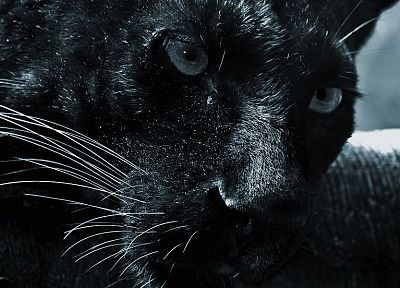 black, cats, animals, panthers - desktop wallpaper