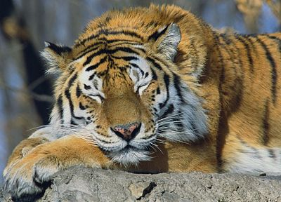 animals, tigers, Russia, sleeping, Siberian Tiger - related desktop wallpaper