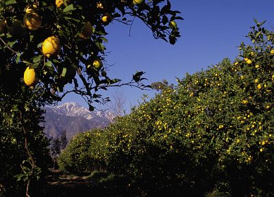mountains, nature, fruits, California, lemons, fruit trees - random desktop wallpaper