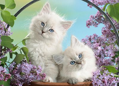 cats, blue eyes, blossoms - random desktop wallpaper