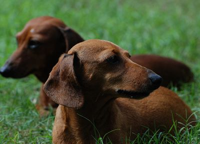 animals, dogs, daschund, dachshund - random desktop wallpaper