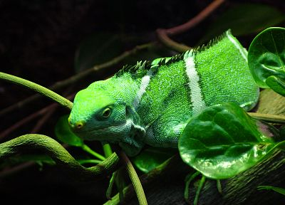animals, chameleons, reptiles - related desktop wallpaper
