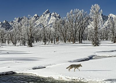 landscapes, winter, snow, outdoors, wolves - desktop wallpaper