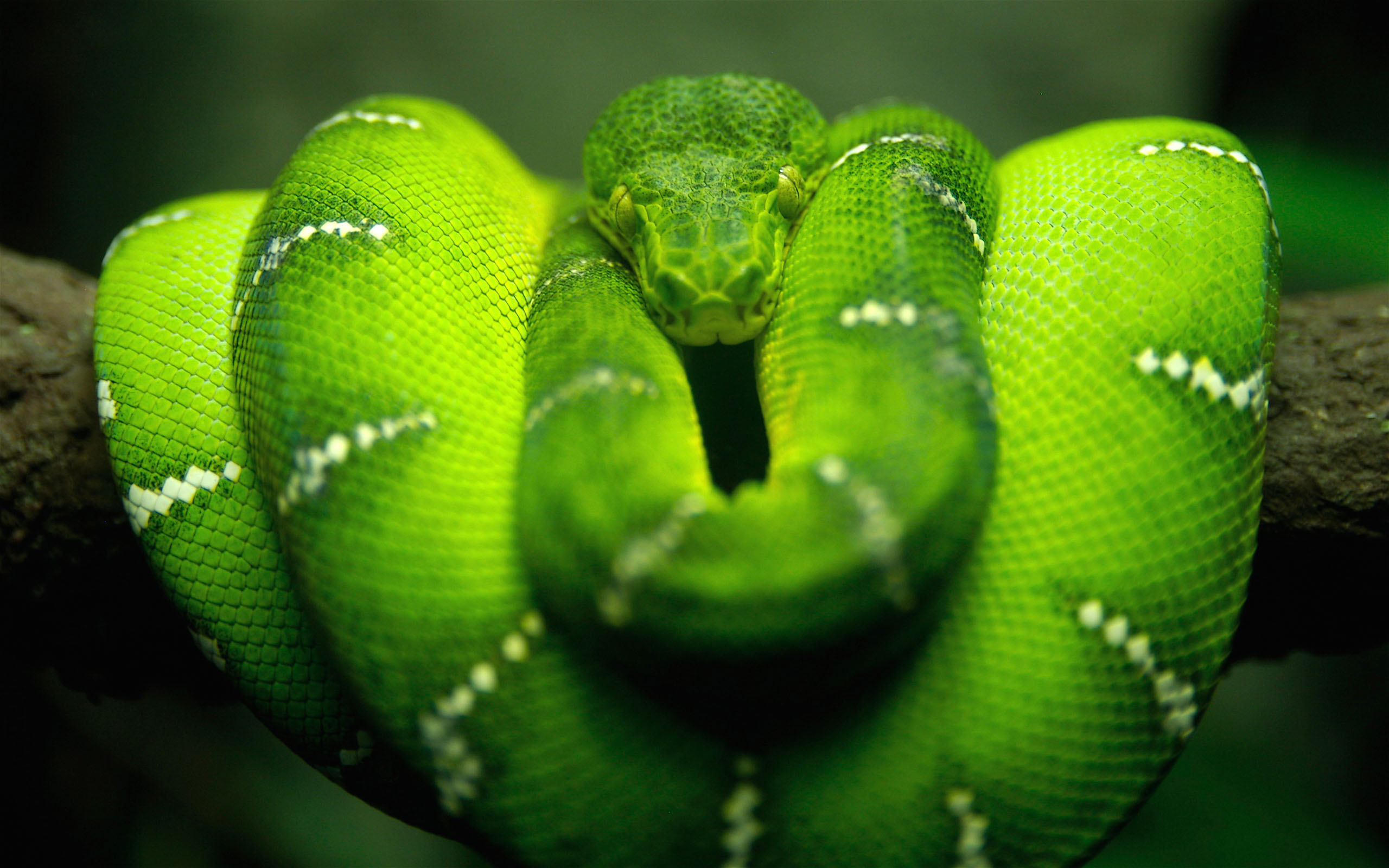 Green Tree Snake The Green Tree Snake can vary in colour from brown to green The body is very slender and it often has a yellow throat It is a harmless agile