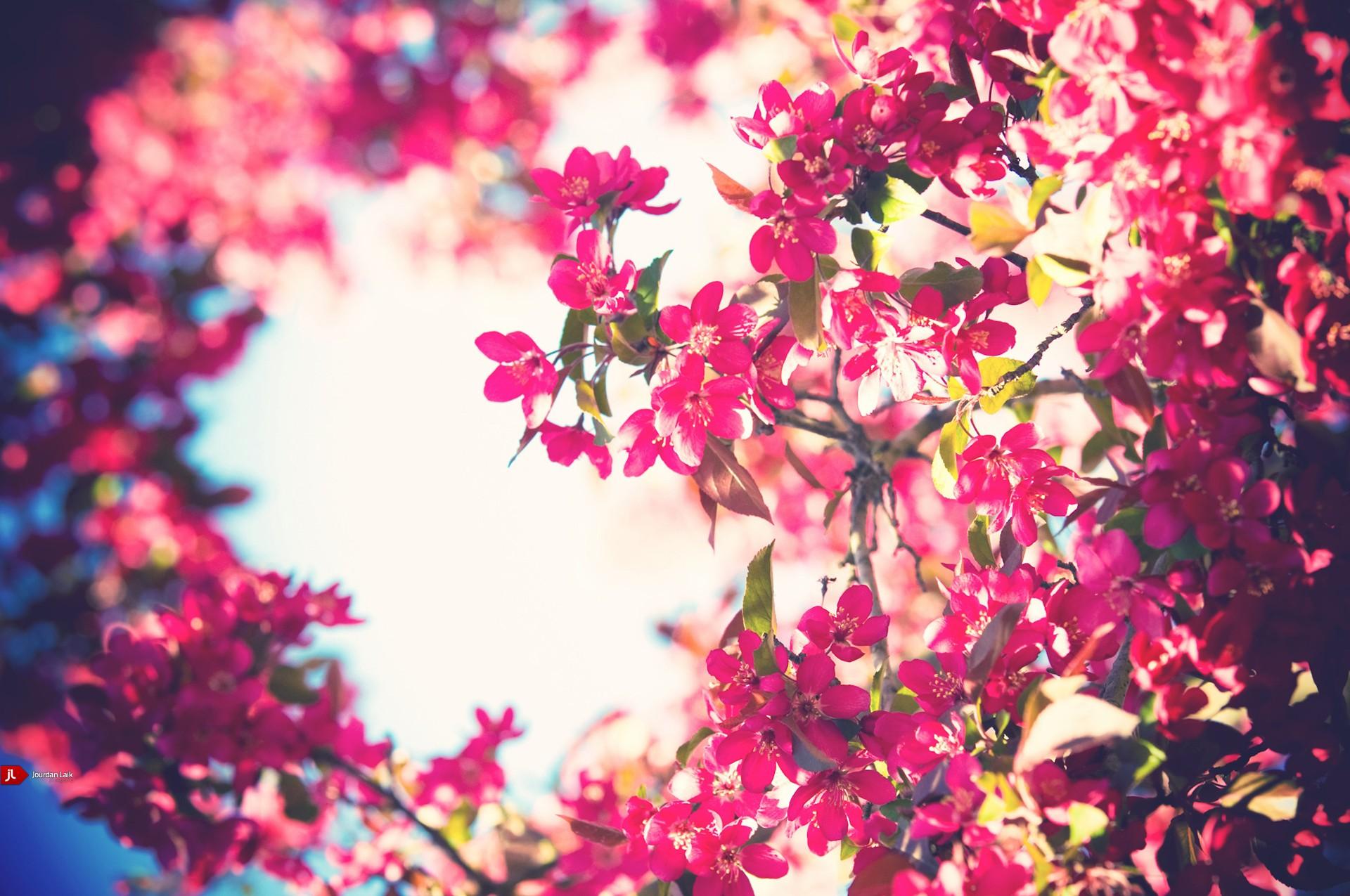 Flowers bloom bokeh pink flowers free wallpaper wallpaperjam mightylinksfo