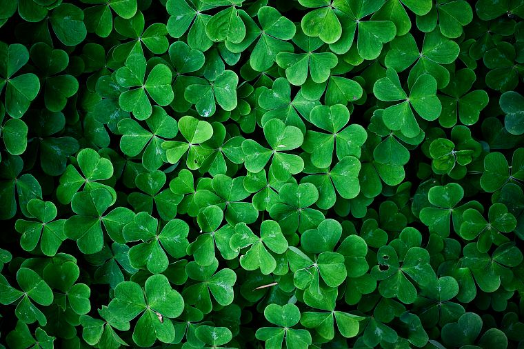 green, nature, leaf, leaves, plants, shamrock, macro, clover - desktop wallpaper