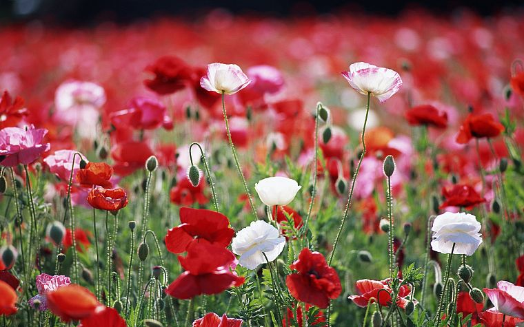 flowers, poppy, red flowers, white flowers - desktop wallpaper