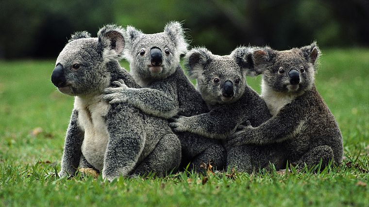 animals, koalas - desktop wallpaper