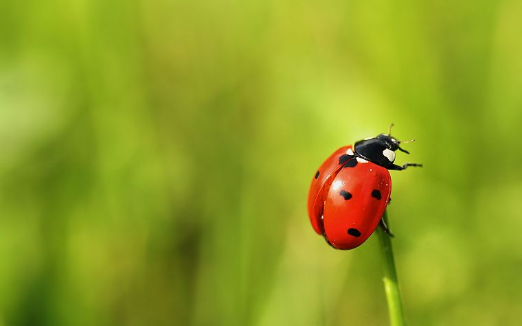 nature, insects, depth of field, ladybirds - desktop wallpaper