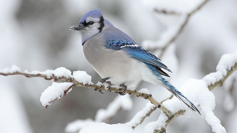snow, birds, Blue Jay - desktop wallpaper