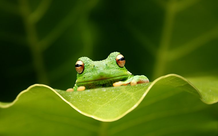 leaves, frogs, amphibians - desktop wallpaper
