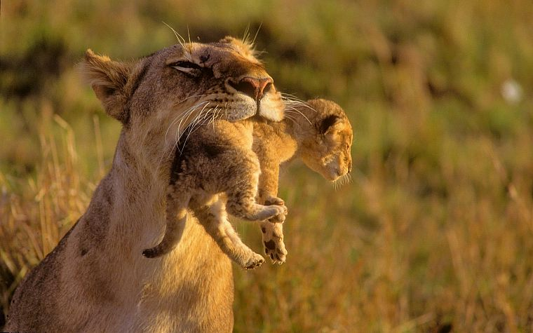 animals, mother, cubs, Africa, lions, baby animals - desktop wallpaper
