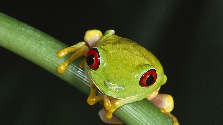 women, animals, frogs, Red-Eyed Tree Frog, amphibians - desktop wallpaper