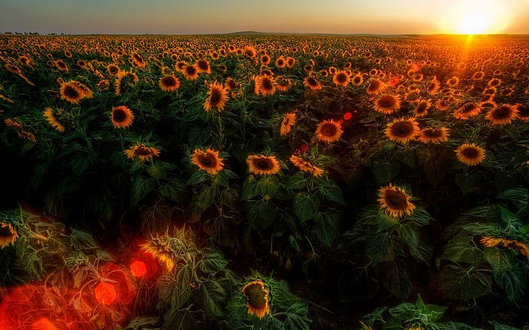 sunset, sunrise, landscapes, nature, flowers, fields, sunflowers - desktop wallpaper