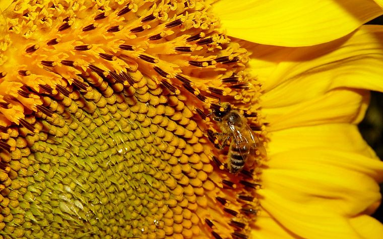 flowers, yellow, insects, bees - desktop wallpaper
