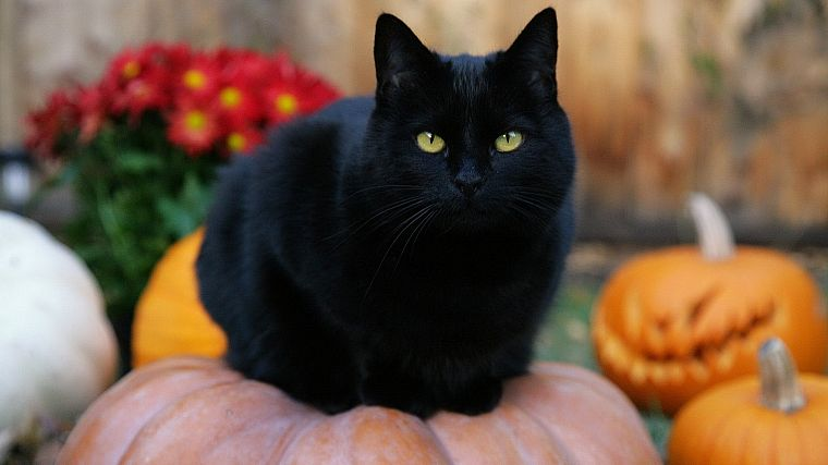 Black Cat, Halloween, pumpkins, jack-o-lanterns - desktop wallpaper
