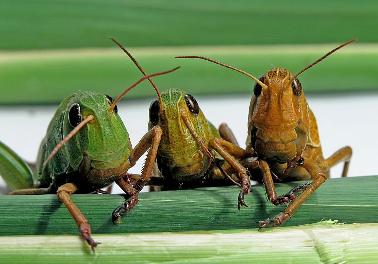 insects, grasshopper - desktop wallpaper