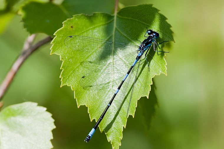 nature, leaf, animals, insects, leaves, dragonfly - desktop wallpaper