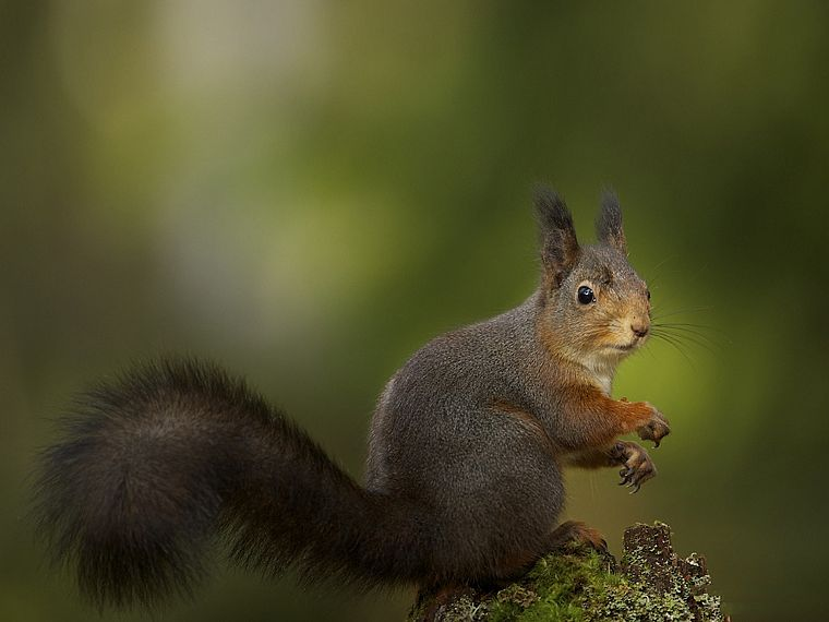 animals, squirrels, depth of field - desktop wallpaper