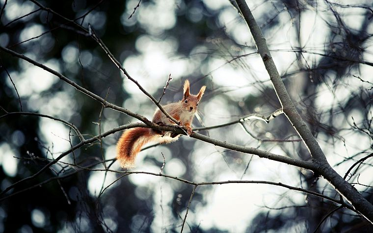 trees, animals, squirrels, depth of field, branches - desktop wallpaper